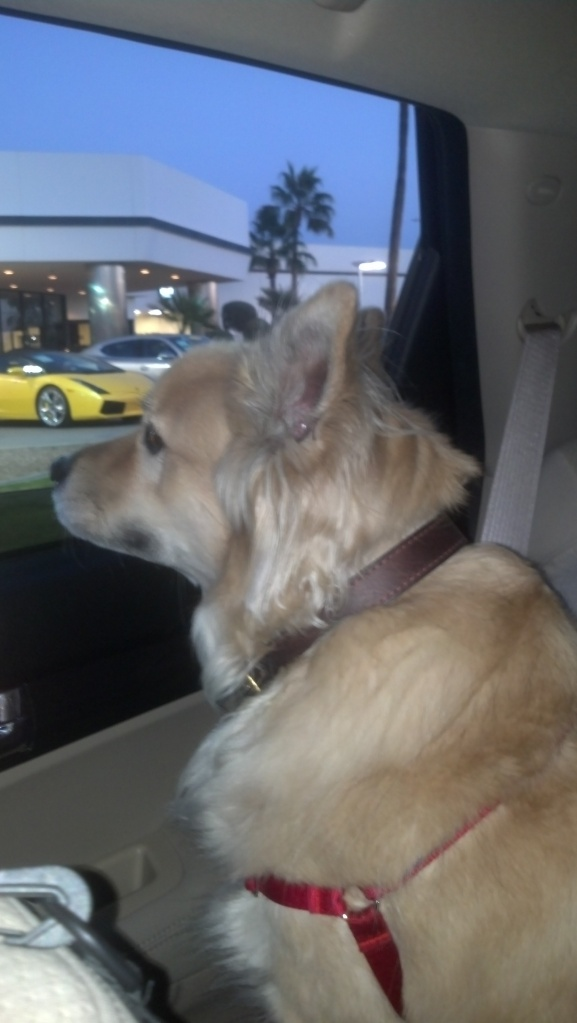 Max, checking out the Ferrari dealership on our trip to Lucky Paws