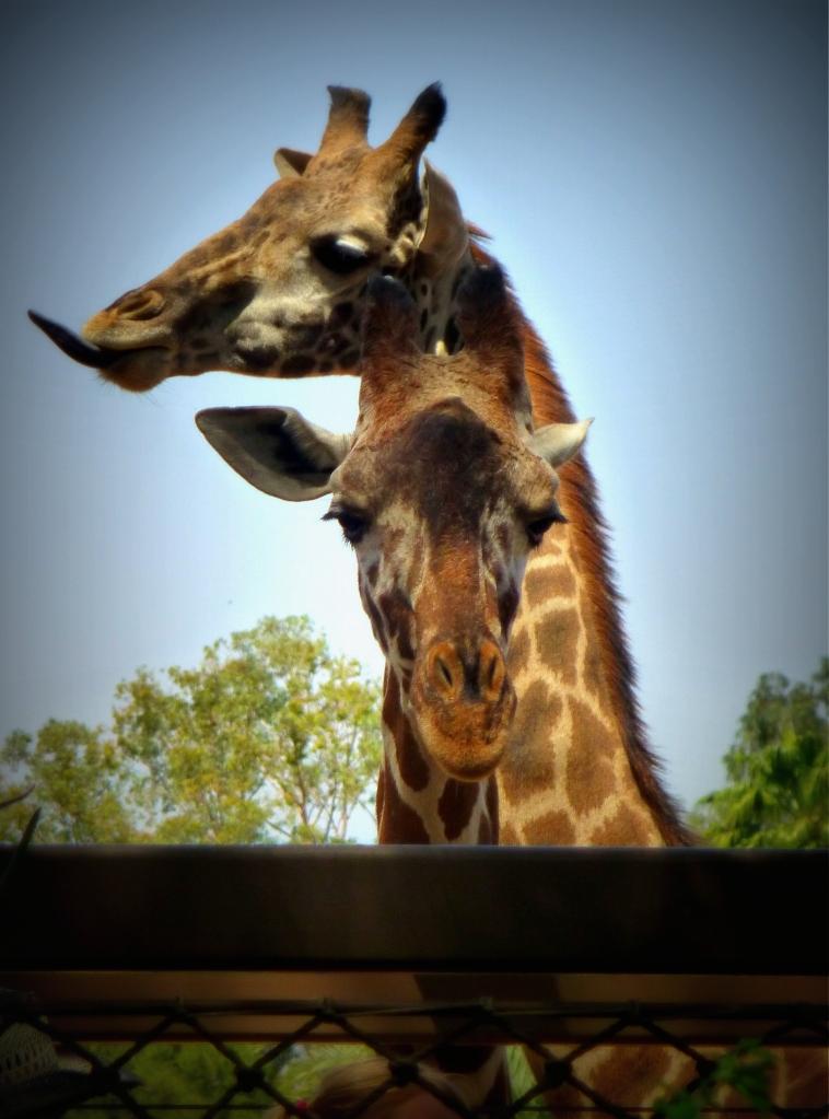 Giraffe being photobombed by another giraffe...
