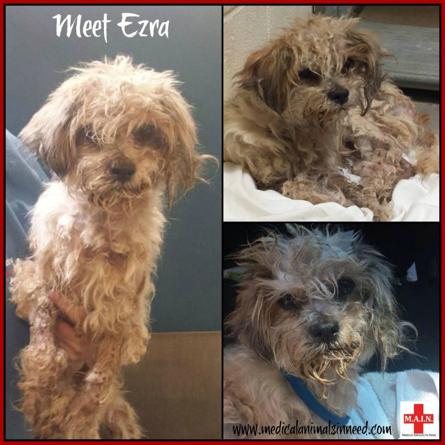 Ezra - rescued by Phoenix's Medical Animals In Need from the county euthanasia list.